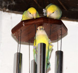 Three Love Birds on a Chime _DSC6440.jpg