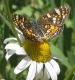 Butterfly on Daisy smallfile IMG_0168.jpg
