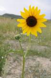 helioanthos or sunflower _DSC6581.jpg