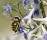 bumble bee on larkspur _DSC6733.jpg