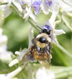bumble bee on larkspur _DSC6737.jpg