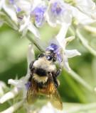 bumble bee on larkspur _DSC6739.jpg