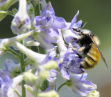 bumble bee on larkspur _DSC6764.jpg