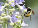 bumble bee on larkspur _DSC6765.jpg