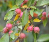 Little Apples _DSC9770.jpg