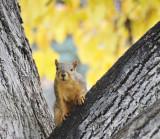The ISU College of Pharmacy Fox Squirrel _DSC4560.jpg