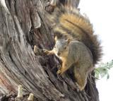 Squirrel at R8 parking lot ISU IMG_1519.jpg