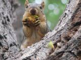 Whitman Street Squirrel IMG_0661.JPG
