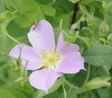 rose native wild _DSC5427.jpg