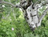 rosebush and aspen tree McNabb Road Inkom _DSC5481.jpg