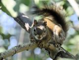 red squirrel on aspen _DSC5100.jpg