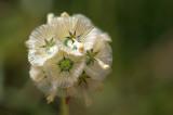 Uma pequena Planta // Plant (Scabiosa stellata)