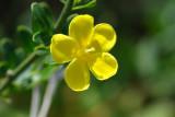 Jasmineiro-do-monte ou Giestó // Wild Jasmine (Jasminum fruticans)