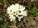 Alho-silvestre // White Garlic (Allium neapolitanum)