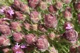 Erva-ursa ou Tomilho-cabeçudo (Thymus lotocephalus)