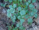 Trevo-betuminoso // Arabian Pea (Bituminaria bituminosa)