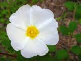 Saganho-mouro // Sage-leaved Rockrose (Cistus salviifolius)