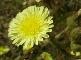 Tripa-de-ovelha; Alface-dos-montes // Common Andryala (Andryala integrifolia)
