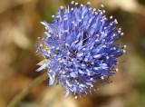 Baton-azul ou Botão-azul // Sheep's Scabious (Jasione montana)