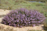 Salgado (Limoniastrum monopetalum)