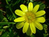 Ficária ou Celidónia-menor // Lesser Celandine (Ranunculus ficaria)