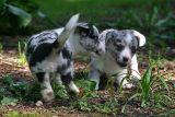 Puppy scuffle