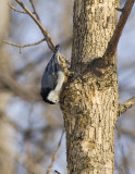 White-breasted Nuthatch-DSC_3837-800.jpg