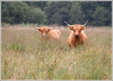 Highland cattle.