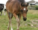 Misty's foal, Tilly