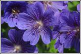 common geranium