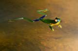 Southern Orange Eyed Tree Frog