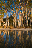 Paperbark Reflection
