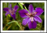 Pond Iris with Dew