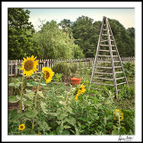 Sunflowers and Bean Tower--early morn