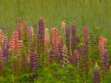 DSCN6396_1.jpg sugar hill nh lupines... see...