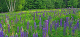_MG_0189 Lupine Pano ( Please pick a favorite from this gallery)