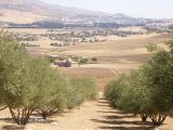 olives fields in Ferdjioua