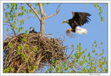 Eagle-builds-nest