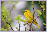 Yellow warbler - Dendroica petechia