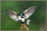 Tree-swallows-crooked