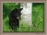 Bear cub peek