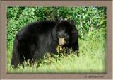 Black Bear strolling