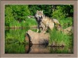 Timberwolf family on rock