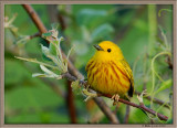 Yellow Warbler in an apple tree