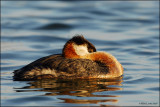 Red Necked Grebe coiled up