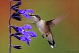 Purple Salvia tasting