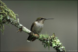 Juvenile Hummingbird taking a break on a Lichen covered branch