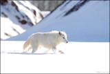 Arctic Wolf strolling