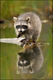 Racoon snail hunting
