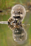 Racoon verticle reflection